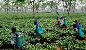 Tea garden workers spray insecticides on tea leaves in a tea garden in Sonitpur district of Assam