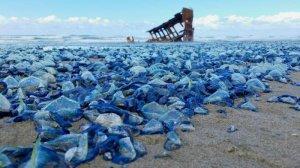 jellyfish_california_beach_01
