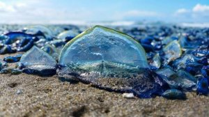 jellyfish_california_beach_03