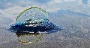 jellyfish_california_beach_05