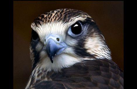Сокол Сапсан falcon